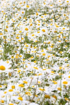 640-Daisies-Flowers-l