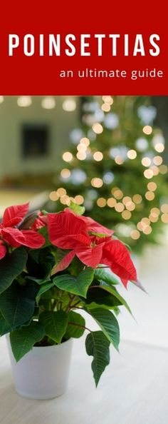 Everything you need to know about this popular holiday plant! #poinsettia