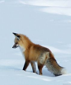 Foxes are one of few animals to have internal compass and able to use Earth's magnetic field to navigate the distance and direction of it's prey.