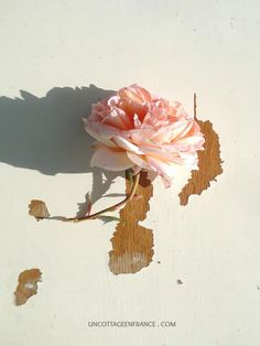 Rose Abraham Darby David Austin, Abraham Darby, Rose Pale, Pink, Shabby Chic, French, Painting, Art, Pink Blossom