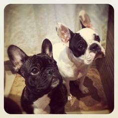 frenchie, french bulldog, buhi, bulldog frances, brindle, puppy, pied, frenchies