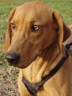 I'VE BEEN ADOPTED!!!   Redbone M named Jasper in Marlinton, WV @ Pocahontas County Animal Shelter asapwva@gmail.com
