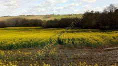 l'huile de Colza (très bon pour la santé ) - le jardin de jean marie