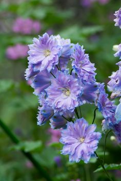 pretty little flower Delphinium (by shinichiro*)