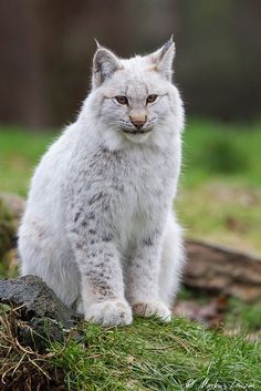 An albino lynx. such a rare sight too see Big Cats, Cool Cats, Cats And Kittens, Rare Cats, Exotic Cats, Animals And Pets, Baby Animals, Cute Animals, Pet Bobcat