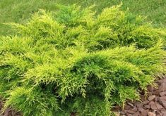 Juniperus chinensis 'Old Gold' - Hess Landscape Nursery - Finleyville, Pennsylvania