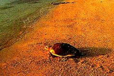 Turtle returning to the sea, after laying her eggs on the beach