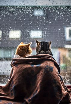 cats watching the rain