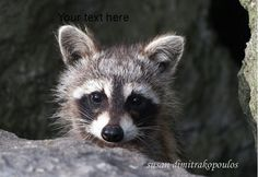 Raccoon Baby greeting card  5 x 7 by skybird111 on Etsy, $3.99