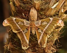 Atlas Moth, the largest butterfly by Foto Martien, via Flickr