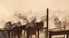 Dutch curbs on cattle trade lifted |