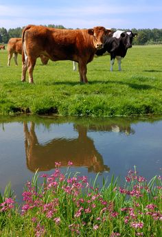 Koeien in de Wei. Farm Animals, Animals And Pets, Cute Animals, Country Farm, Country Life, Pond Life, Cute Cows, Farm Yard, Livestock