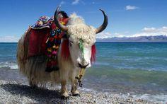 yack-tibetain-001
