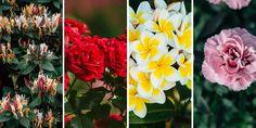Υπέροχα λουλούδια που μοσχοβολούν, μας χαρίζουν μοναδικό έντονο άρωμα και ανεβάζουν τη διάθεσή μας στο σπίτι και στον κήπο με τη μοναδική ομορφιά τους.