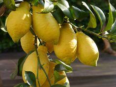 """Eigene Zitronen ernten - kein Problem mit """"Meine Orangerie"""""""