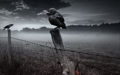 #crows, #fence, #style, #background