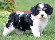 This adorable Cavachon puppy will be your new best friend and a great cuddle buddy! She loves to be spoiled and is really looking for a family to call her Cute Puppies For Sale, Cute Dogs, Dogs And Puppies, Animals And Pets, Cute Animals, Funny Puppy Pictures, Cavachon Puppies, Labradoodle, Havanese