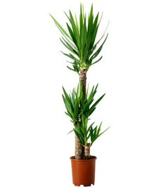 A pot containing mutiple Yucca plants can be incredibly handsome