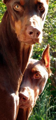 The Doberman Pinscher is among the most popular breed of dogs in the world. Known for its intelligence and loyalty, the Pinscher is both a police- favorite Rottweiler, Big Dogs, I Love Dogs, Dogs And Puppies, Doggies, Beautiful Dogs, Animals Beautiful, Cute Animals, Doberman Pinscher