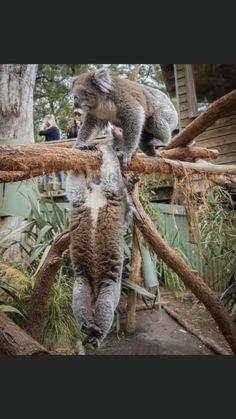 Australia Animals, Cute Baby Animals, Wild Animals, Big Cats, Animals Beautiful, Cute Babies, Creatures, Koala Bears, Friends
