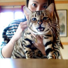 beware of tiger  #toyger #cats #neko #chat #tiger