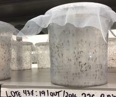 Mosquitos Aedes aegypti com gene modificado são criados em fábrica da Oxitec em Piracicaba, São Paulo (Foto: Bruno Calixto/ÉPOCA)
