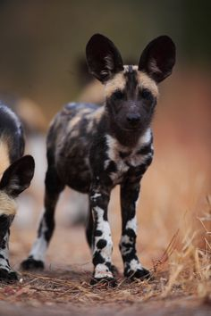 African wild dog (12 week old puppy)   by Wildcaster