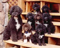 OMG... puppy love!  Portuguese Water Dogs! As Portuguese water dogs are excellent swimmers they used to work alongside with Portuguese fishermen and were considered part of the crew.
