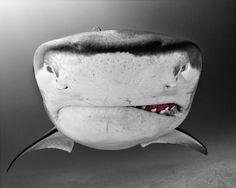 tubarão-zupi-1
