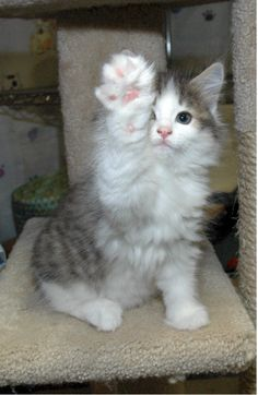 High Five! Norwegian Forest Kitten.