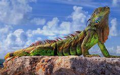 big-green-iguana-of-florida-keys