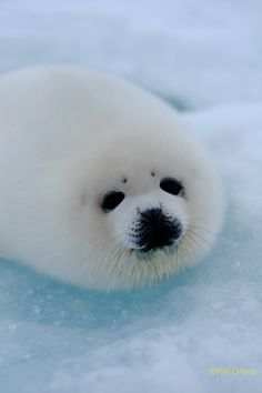 Such a beautiful creature. Happy Animals, Cute Funny Animals, Cute Baby Animals, Animals And Pets, Mundo Animal, My Animal, Harp Seal Pup, Baby Harp Seal, Cute Seals