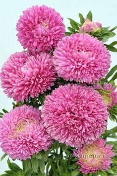 ДЛЯ ПРЕКРАСНЫХ ДАМ.. — Фото   OK.RU Хризантема, Красивые Цветы, Растения, Вода, Экзотические Цветы, Сады
