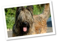 The Briard dog breed is devoted and protective of its family. They are ideal pets for active owners as they benefit from regular exercise.