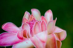 Pink flower photographed at Cairns Botanic Gardens