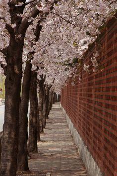 """Cherry Blossoms in Seoul - """"Mùa xuân này, tôi vẫn nhớ, liệu người ấy có quên?"""""""
