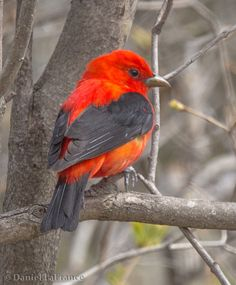 Scarlet tanager  Saw my first in Wisconsin and some later in Minnesota