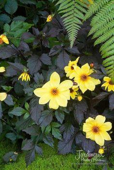 Dahlia 'Knockout' con un estupendo follaje negro y sus flores amarillas...  - http://jardineriaplantasyflores.com/fotos/dahlia-knockout/
