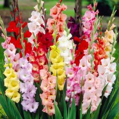 Mixed Gladiolus Gladiolus Bulbs, Gladiolus Flower, Tall Flowers, Flowers In Hair, White Flowers, Organic Horticulture, Organic Gardening, Gardening For Beginners, Gardening Tips