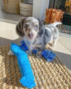 Dachshund Breeders, Dachshund Puppies For Sale, Dapple Dachshund, Long Haired Dachshund, Dogs For Sale, Dachshunds, Standard Dachshund, Mini Dachshund, Cheap Puppies