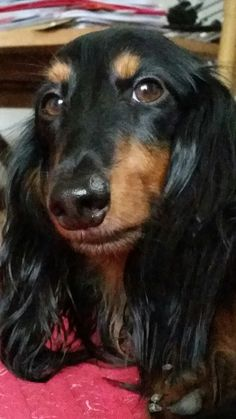 Weenie Dogs, Dachshund Puppies, Dogs And Puppies, Dachshunds, Long Haired Miniature Dachshund, Long Haired Dachshund, Dog Eyes, Dog Hacks, Old Dogs