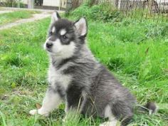 Malamute Puppy: My brother loves these, and now I know why!