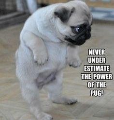 Pugs have a variety of facial expressions. For that reason, pug memes are funny and I hope these 101 dog memes featuring pugs bring a smile to your day! Funny Animal Jokes, Funny Dog Memes, Cute Funny Animals, Cute Baby Animals, Funny Cute, Funny Dogs, Animal Memes, Cat Memes, Pugs