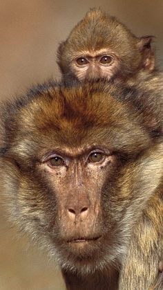 Barbary Macaque (Macaca sylvanus), infant riding on the back of an adult male, winter, Middle Atlas Mountains, Morocco por Cyril Ruoso/ Minden Pictures en Getty Images