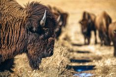Prairie Bison by Jeff Rumans