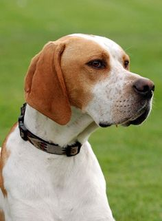Orange & white English Pointer.