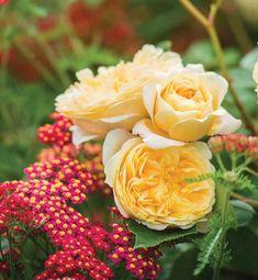 Perennial Combinations, Rose Combinations, Summer Borders, Planting Roses, Rose Gardening, Designing with Roses, English Roses, Rose Teasing Georgia, Rosa Teasing Georgia, Yellow English Roses, Achillea Paprika, Yarrow Paprika