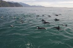 Kaikoura, New Zealand- swimming with Dusky Dolphins