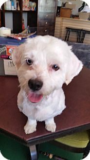 Beverly Hills, CA - Maltese/Lhasa Apso Mix. Meet SINATRA II, a dog for adoption. http://www.adoptapet.com/pet/16283605-beverly-hills-california-maltese-mix