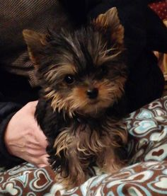 Priceless Yorkie Puppy Michigan Breeder Specializing in Teacup Yorkie Puppies For Sale. Exceptional Quality is Not Expensive, It's Priceless!